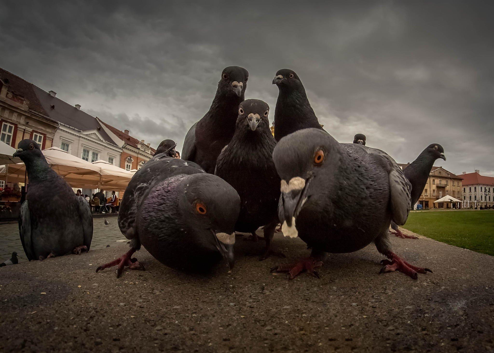 Pigeon Crew